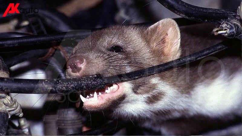 Chuột xâm nhật và tấn công ô tô